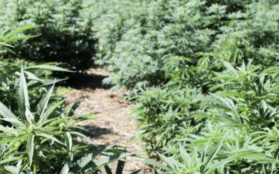Cannabis light: tecniche naturali e zero chimica